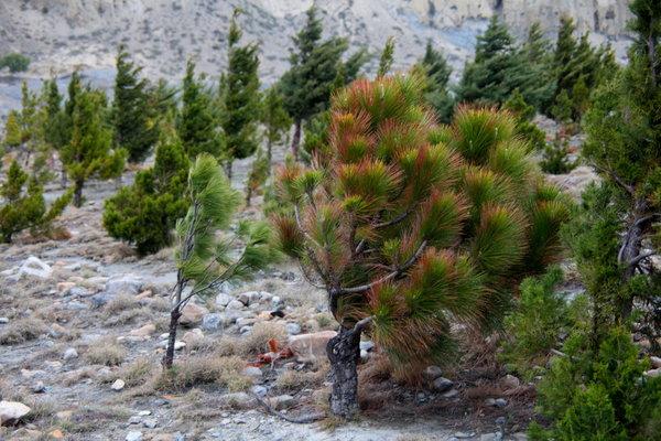 ムスタンの荒野で植林活動も.jpg
