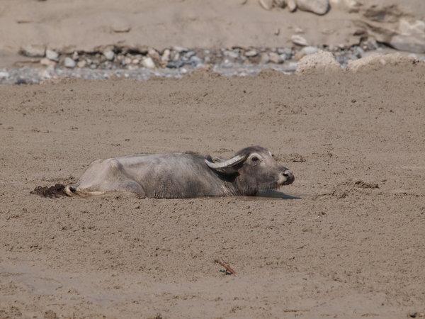 身動き取れなくなっていた水牛.jpgのサムネール画像