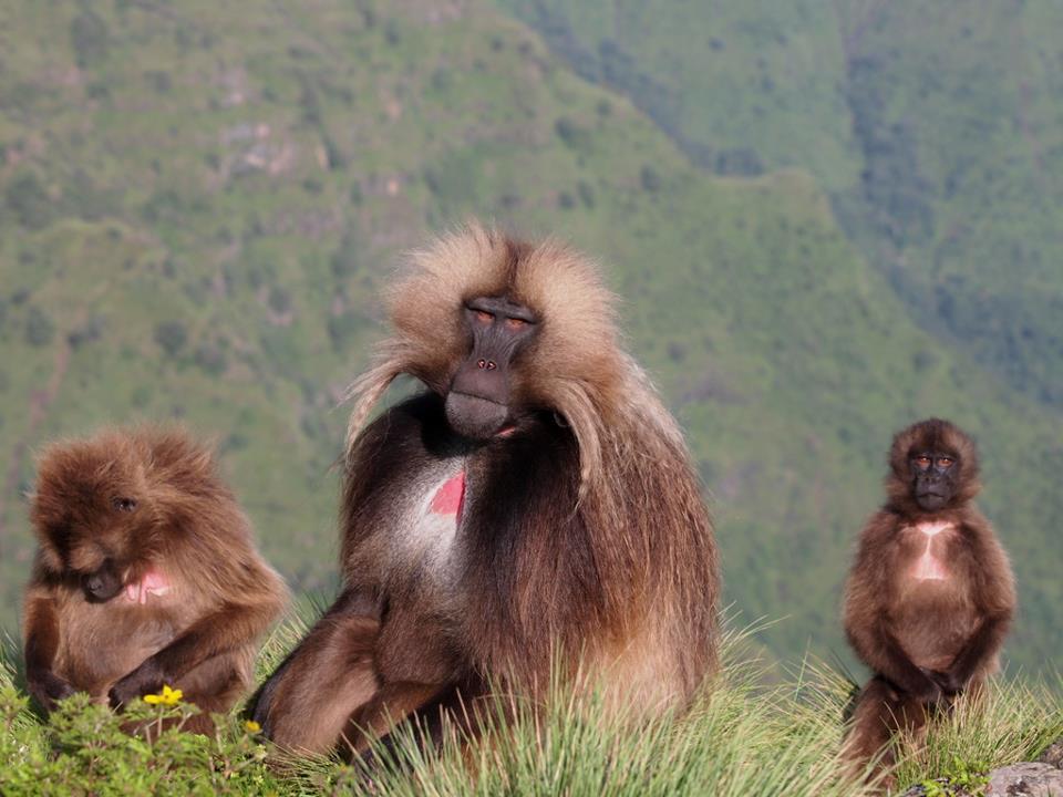 エチオピアの山。シミエン国立公園の動物たち