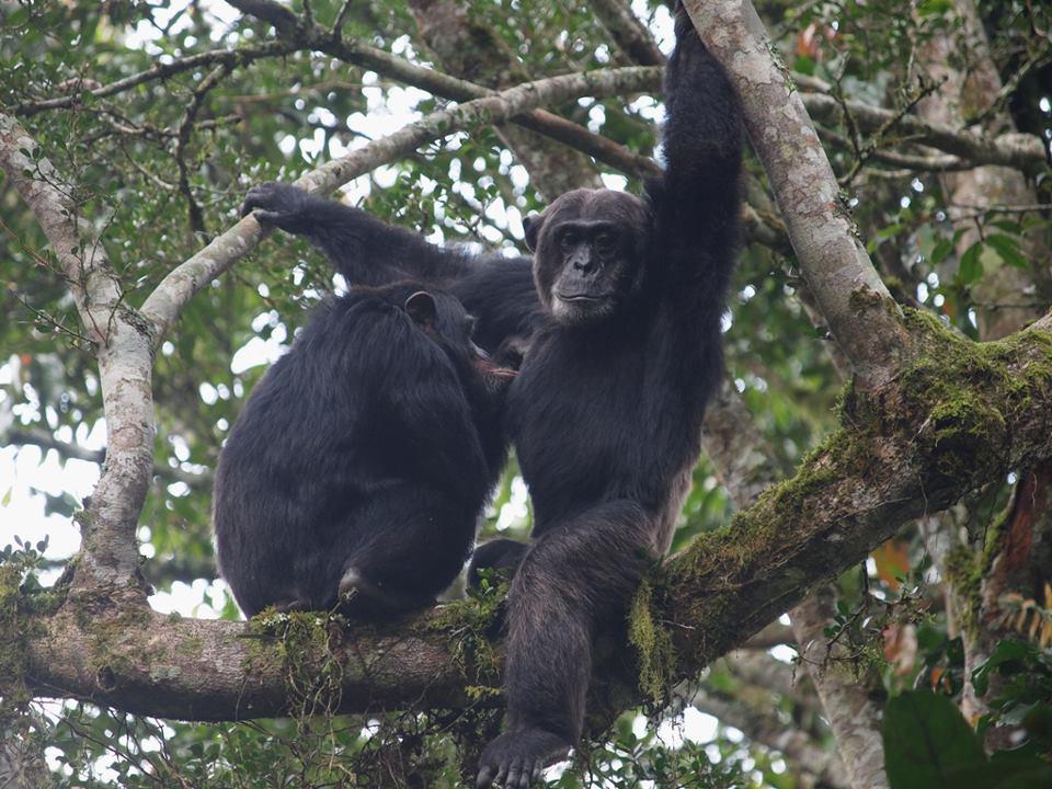カリンズ森林のチンパンジー