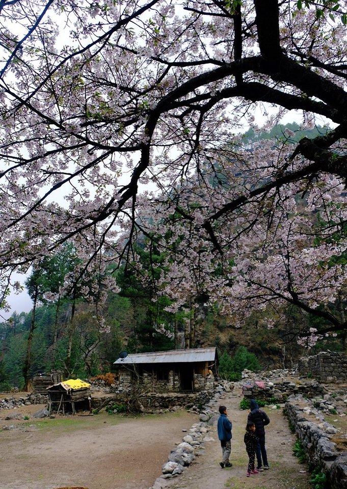 ヒマラヤの桜