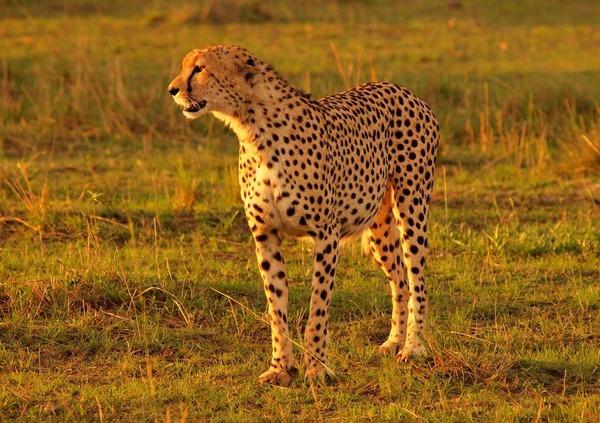 2番・夕日を浴びるヒョウ(マサイマラ・ケニア)
