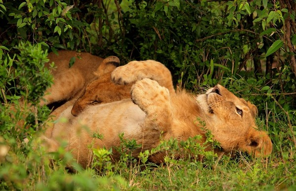 子供ライオンたち