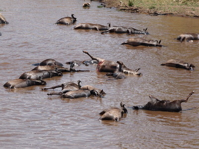 川を渡る時に溺死したヌーの死骸