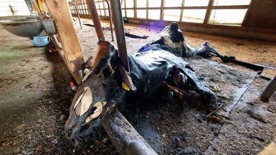 8番目 首を固定されたまま餓死死していた乳牛