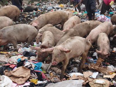 ゴミをあさるブタの群