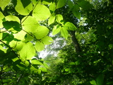 太陽に光るブナの葉