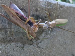 雄を食べる雌カマキリ