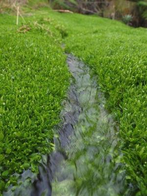 lコケの絨毯に水が流れていた