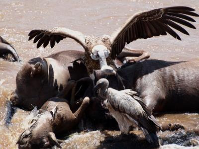 ヌーの死骸を突く禿鷹