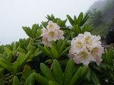美しく咲くシャクナゲ