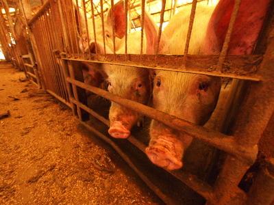 6番目 驚いたのは豚舎の檻の中に生きている豚がいた事だ。