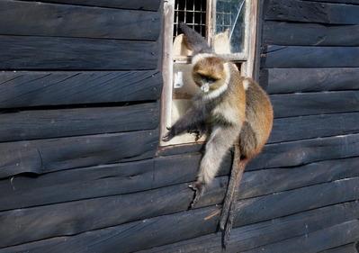 山小屋の窓から入ろうとするサル。超必至!