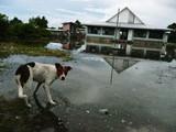 ツバル・大潮による塩害犬も洪水に怯えている?